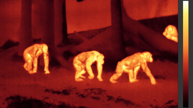 Chimps-ir50-100